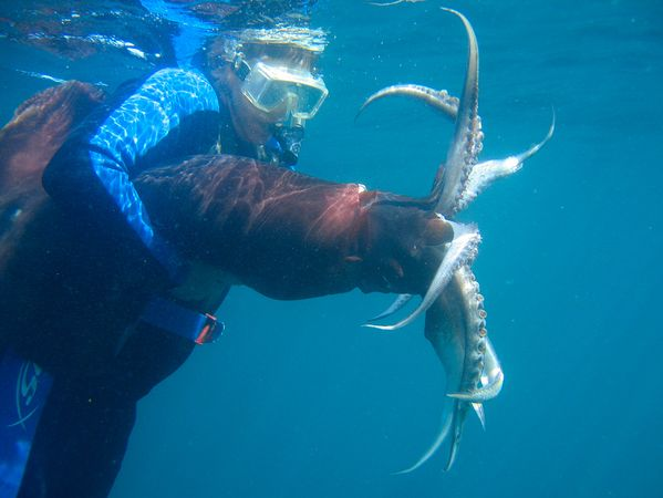 Humboldt Tintenfisch